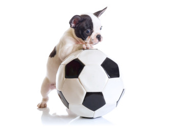 boston pup playing soccer small