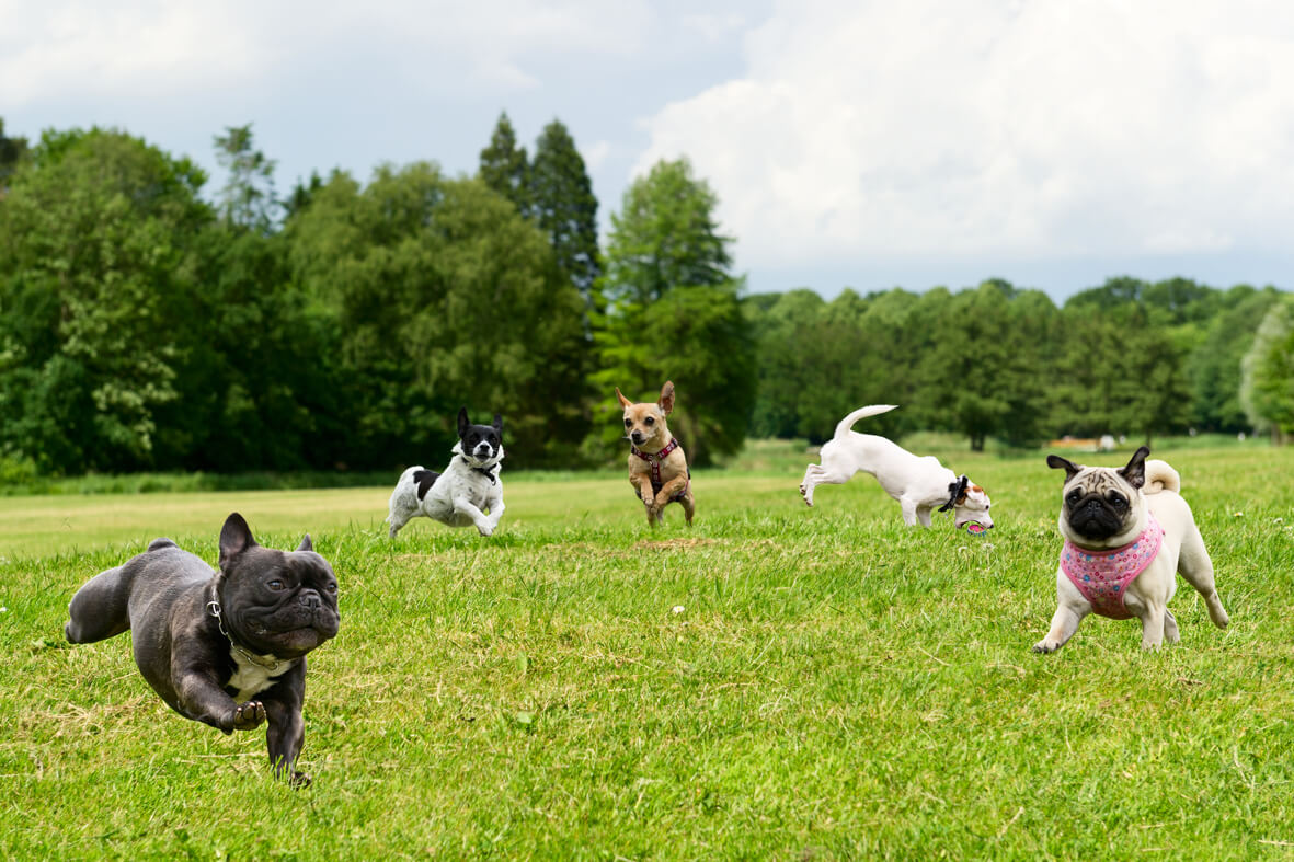 dogs playing at dog daycare