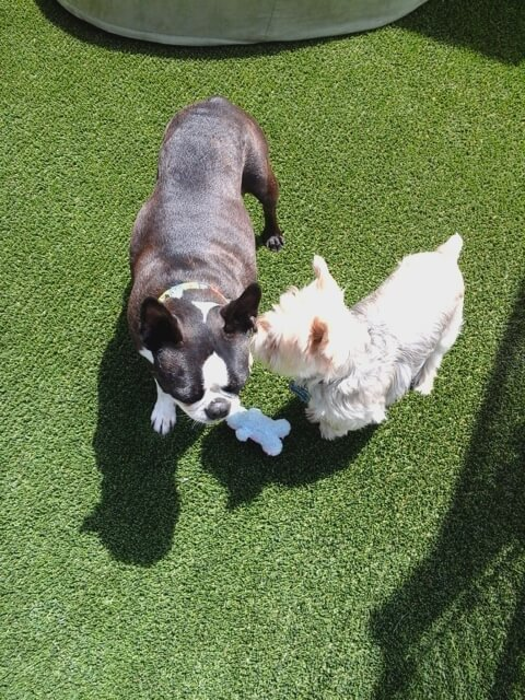 Jake the diabetic Yorkie and his friend Dexter, the Boston Terrier